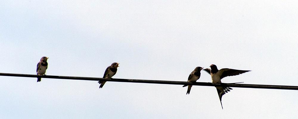 Singende Vögel fehlen